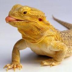 Bearded Dragon :-P