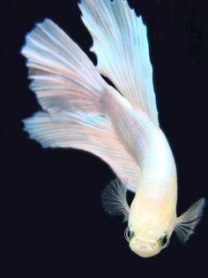 White and Pink Beta Fish. #water #fish #white #pink #beta