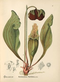 Red Pitcher Plant  Title of Plate	Sarracenia purpurea  Title of Book	American Medicinal Plants  Engraver/Lithographer	Millspaugh, Charles F.