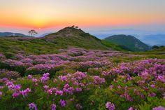 Fields of Royal Azaleas on Mt. Hwangmaesan in South Korea during the Hapcheon Hwangmaesan Royal Azalea Festival