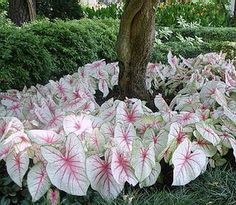 """Great idea for under tree planting - Caladium """"White Queen"""" for Shade Garden."""