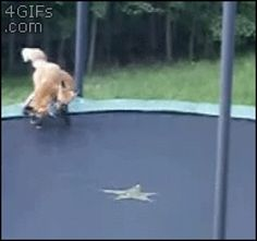 Foxes play on a trampoline (gif)  So adorable
