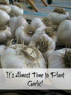 Almost Time to Plant Garlic #garlic