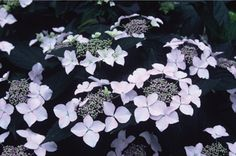 Hydrangea macrophylla 'Veitchii' AGM is a small, bushy deciduous shrub with glossy ovate leaves. Lace-cap flowerheads with small blue fertile flowers surrounded by large white sterile florets which turn pink with age. HxS 1-1.5m x 1-1.5m.