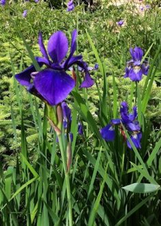 Siberian iris floats delicate, fleur-de-lis flowers over grassy foliage. Learn to use it in your garden at http://www.spottsgardens.com/iris-illuminated/