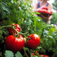 When to Plant Tomatoes: How to Plan & Plant Heirloom Tomatoes