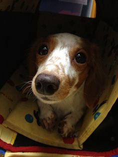 weiner dog! | Photo: by tosi., via Flickr