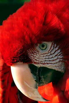 Beautiful Red Parrot