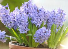 forcing hyacinths into bloom