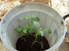 how to grow hundreds of potatoes in a container