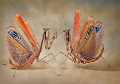 Two large praying mantises show their colours in Igor's home studio  Picture: IGOR SIWANOWICZ