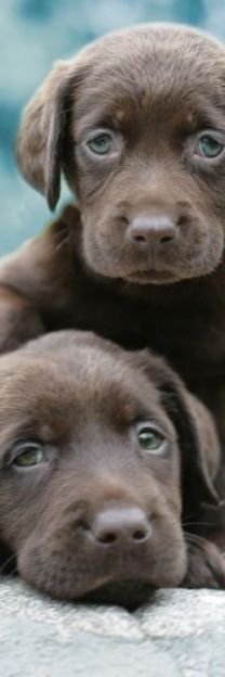 A pair of chocolate lab puppies