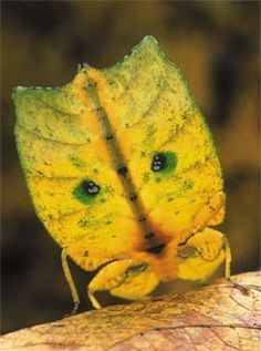 Amazing Insects! - Walking Leaf