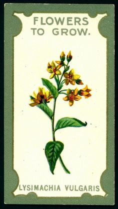 Cigarette Card - Yellow Loose-Strife by cigcardpix, via Flickr