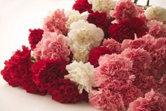 Order bulk Carnations at low wholesale prices from The Grower's Box. Carnations are an affordable flower which are frequently used to create topiaries and other popular arrangements of wedding flowers. Wholesale Carnations are available year-round in a wide variety of different colors. Shop online at www.GrowersBox.com.