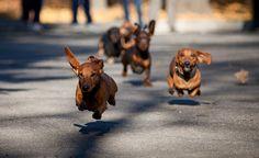 drive way, beats, ear, doxi, dachshund, wiener dog, driveways, cutesi anim, dens