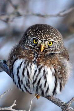 Northern Pygmy Owl So fluffy!
