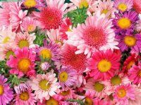 Bulk Pom Pom - Cushion Daisy.  Starting at $77.95.   An assortment of cushion, daisy, and novelty poms. Packed 5-7 stems per bunch, each pom stem holds about 3-5 blooms with bloom size varying by type.