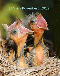 Hungry baby birds.