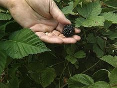 How To Plant Blackberries. Blackberry plants are versatile in the landscape since they can be grown on a trellis or grown as stand-alone plants. #gardengrowtips