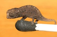 newly discovered tiny Madagascan chameleon
