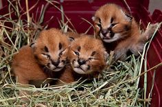 Caracal cats - the fierce territorial wild cats of the Serengeti and other parts of Africa - are pretty much just adorable, sleepy fur blobs when they're 8 days old. Well, except for the one in the back with tiny claws extended. He looks like he's up to no good. (Oregon Zoo in Portland.)