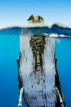 Hawaii, Humpback Whale spyhopping