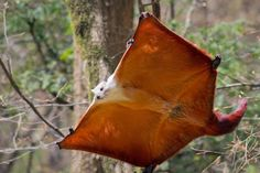 The blue eyed giant flying squirrel Petaurista alborufus