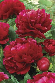 "Henry, if I had a peony garden, I'd have you.  Peony 'Henry Bockstoce'   Paeonia lactiflora    ""Long loved for its intense fragrance, deep red color and amazing sturdy stems, Henry Bockstoce is a Peony that impresses all who see it. The fully double blooms with a rosebud center are sublime."" Via Veseys Canada"