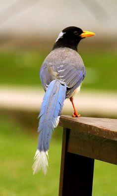 Yellow billed blue magpie, Azad Kashmir