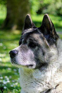 there are 3 or 4 akitas in my neighbourhood. i want to snuggle them. and their big bear paws.