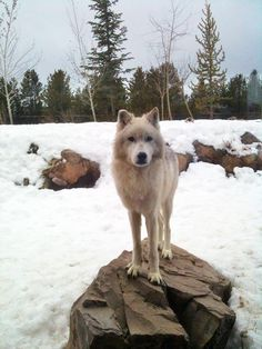 wise wolf, Summit, of west yellowstone park