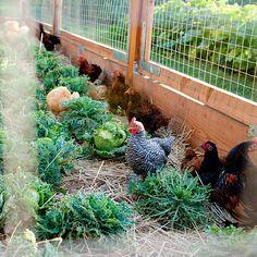 chicken love. farm, postcards, feather friend, yard, chicken wire, garden parties, anim friendsfurri, laundry, poultri fenc