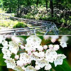 Camelback Mountain Adventure's Mountain Coaster glides through patches of our state flower. #Camelbeach #IAmAdventure #PoconoMtns