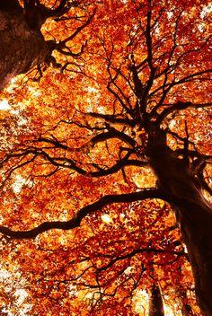autumn tree, orang, autumn leaves, season, colors, natur, autumn falls, beauti, fall trees