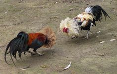 cock fighting -