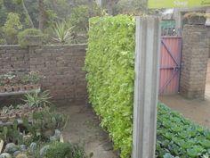 i design this lettuce wall   www.qbfarms.com