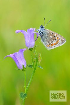 Common blue / © Kent Abrahamsson (KenRol Photography)