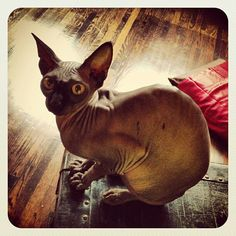 """""""Piaf""""  Kat Von D Cat"""