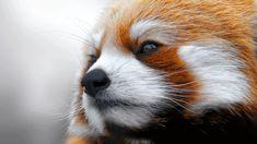 anim kingdom, animals, red pandas, the real, panda face, creatur, natur, deep thought, amaz anim