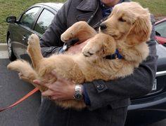 Golden retriever friend!