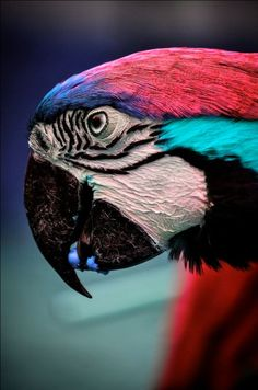 Macaw - Parrot
