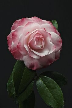 ~~ 2 toned camelia ~~I do want to add camellias to my garden!