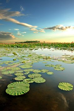 Summer, Lotus Pond, Japan