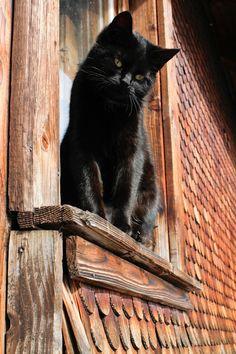 forest cat, anim, cat rule, chat noir, window