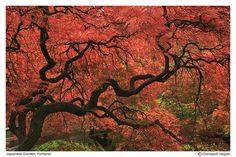 Tree from a Japanese garden....magical!