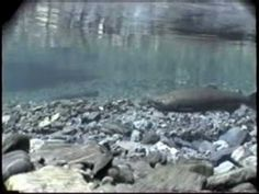 Video:  Life Cycle of Salmon