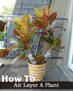 How to Air Layer A Plant Step by Step