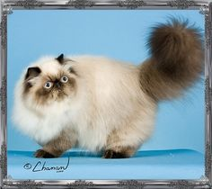 4th Best Himalayan Kitten
