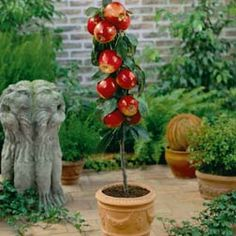 a dwarf patio apple tree